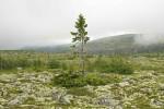 Najstarsze żyjące drzewo zostało odkryte w Szwecji – ma 9500 lat