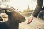 Sąd w Nowej Zelandii oficjalnie zadecydował o tym, że zwierzęta mają uczucia