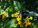 W Polsce pojawiły się fioletowe pszczoły, nie widziano ich od 70 lat