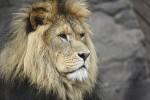 Lwy uratowane z południowoamerykańskich cyrków przewieziono samolotem do rezerwatu w RPA