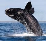 Polacy napisali algorytm, który rozpoznaje wieloryby po… twarzach