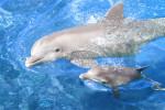 """Ciężarne delfiny """"śpiewają"""" swoim młodym, nadają im wtedy imiona"""