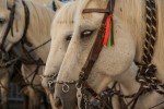 Konie potrafią używać symboli, żeby zakomunikować swoje potrzeby