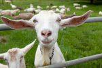Koza pracuje jako ogrodnik. Miasto oszczędza na tym kilka tysięcy euro