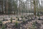 Pierwsze wiosenne sadzenie drzew w stolicy. Ponad tysiąc iglaków