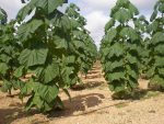 """Oxytree –  szybko rosnące drzewo tlenowe, roślina która ma szansę """"zawojować"""" świat"""
