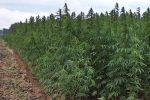 Uprawa konopi siewnych to najszybsza naturalna metoda rekultywacji terenów poprzemysłowych
