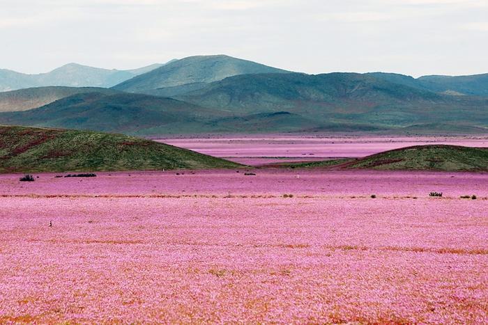 Pustynia Atakama pokryła się kwiatami