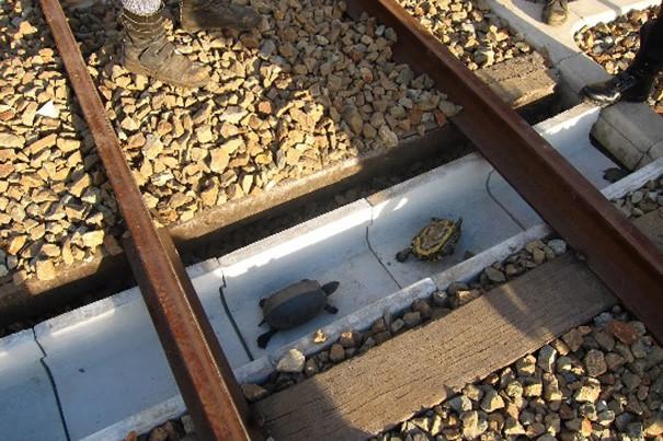 Japończycy inżynierowie zaprojektowali specjalne przejścia pod torami kolejowymi dla małych żółwi