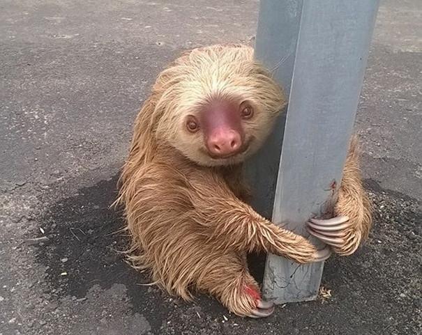 Policjant z Ekwadoru uratował przestraszonego leniwca, który utknął na drodze