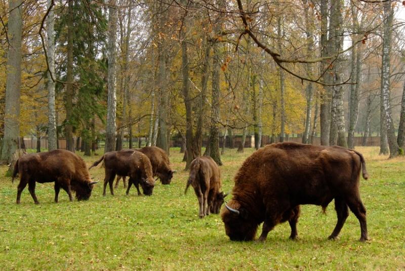 Firmy rezygnują z kupowania drewna z Puszczy Białowieskiej