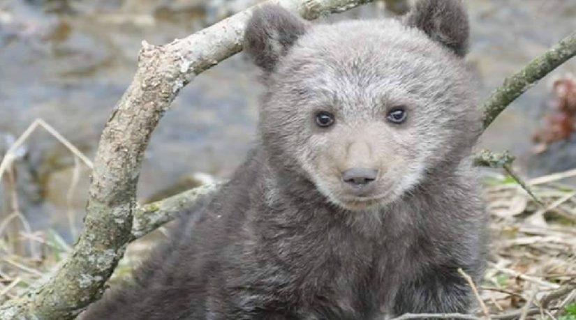 Porzucony w Bieszczadach niedźwiadek uratowany przez leśników