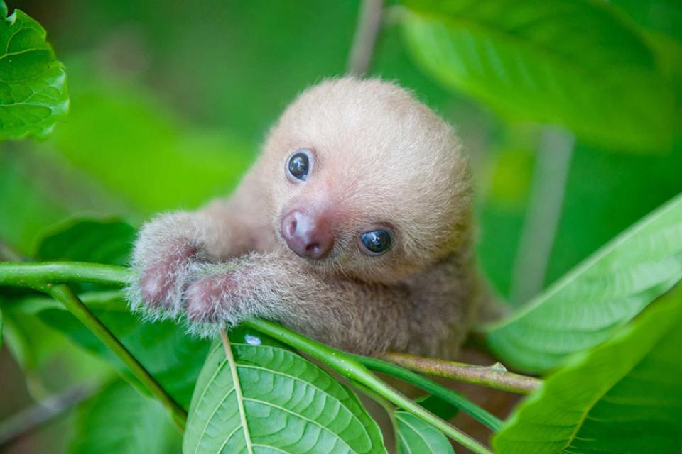 Na Kostaryce działa Instytut Leniwców, którego celem jest ratowanie małych, osieroconych leniwców