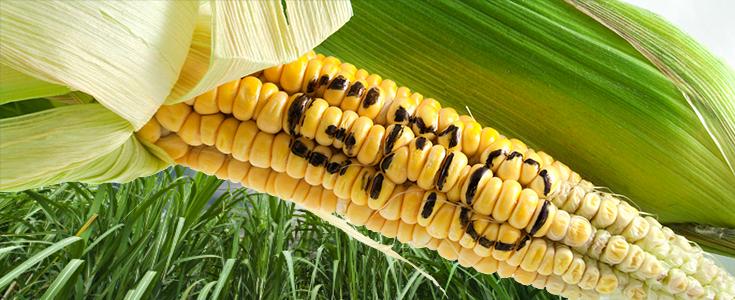 Rosja wprowadziła całkowity zakaz GMO