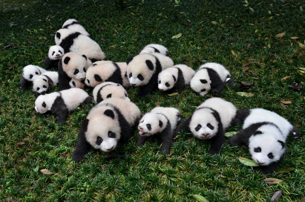 Panda wielka nie jest już zagrożona wyginięciem