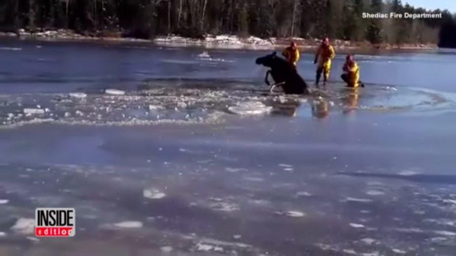 Strażacy uratowali łosia uwięzionego w lodzie