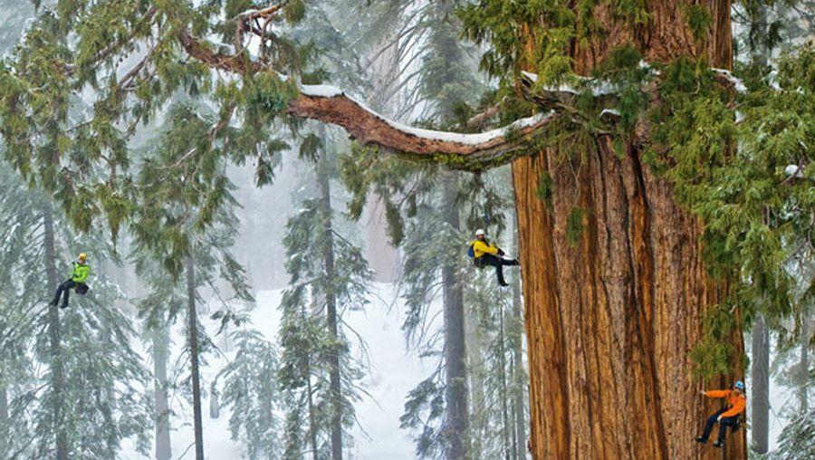 To drzewo, którego wiek jest szacowany na 3200 lat, a obwód jego pnia u podstawy wynosi 25 metrów, wyróżnia się na tle całego lasu