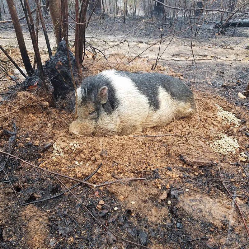 Knur Charles przeżył pożar, zakopując się w ziemi