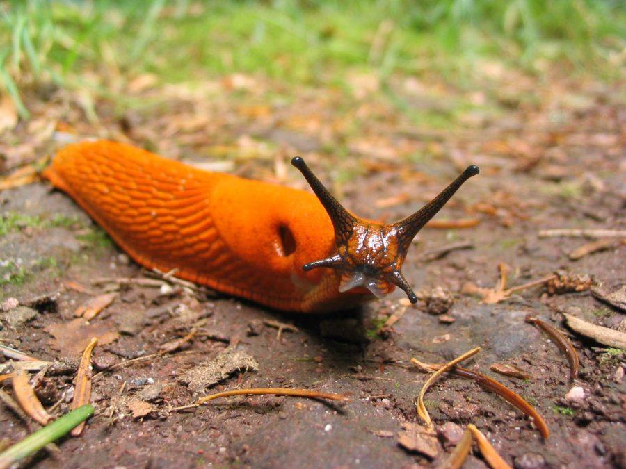 Śluz ślimaków może zahamować rozwój bakterii Salmonella