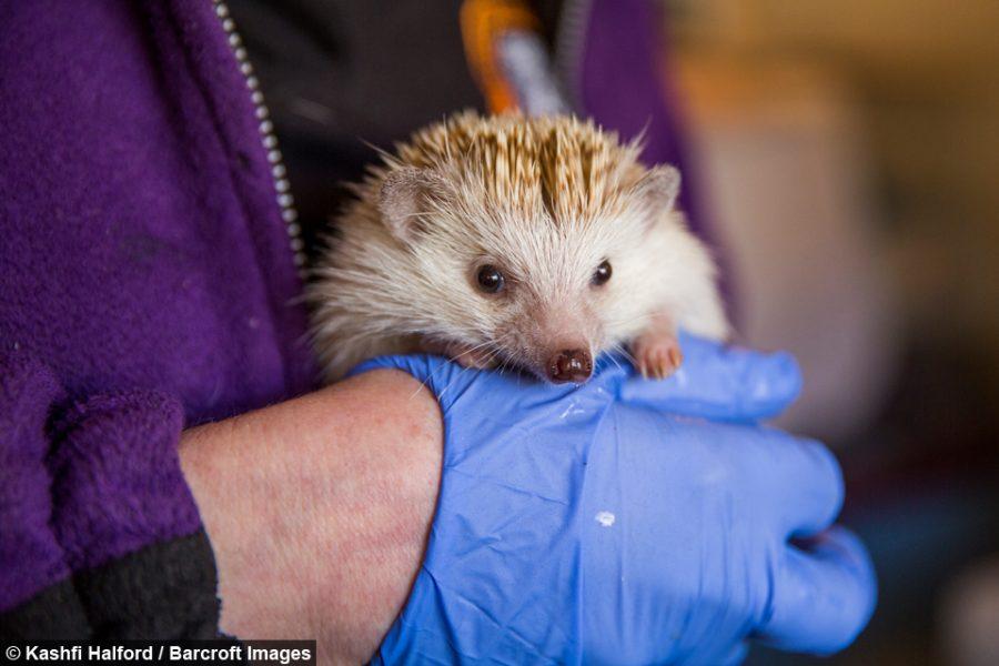 Miłośniczka zwierząt Gill Lucraft zamieniła swój dom w szpital dla jeży