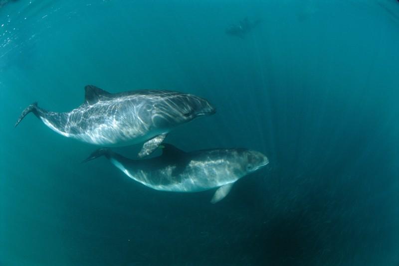 Marynarka Wojenna USA na pomoc morświnom. Specjalna misja delfinów