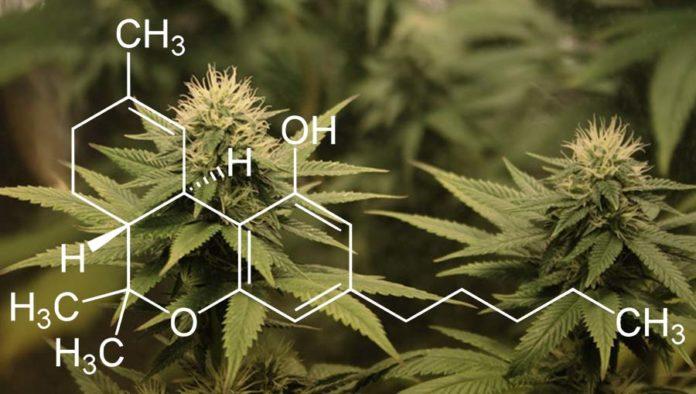 Tetrahydrokannabinol (THC) odwraca proces starzenia się mózgu