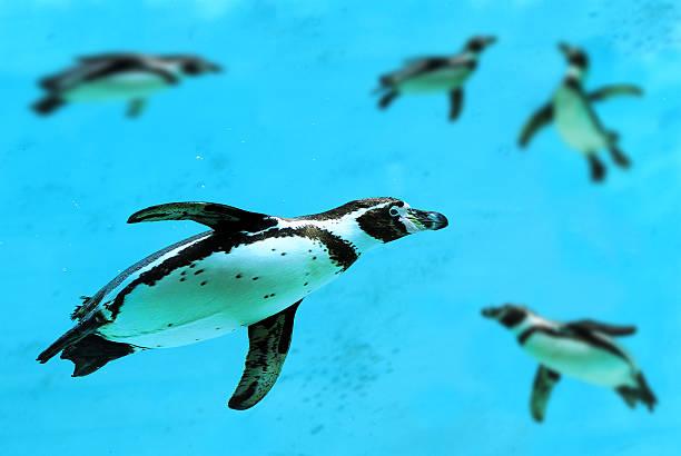 Władze Chile zrezygnowały z budowy kopalni, aby chronić zagrożony gatunek pingwina