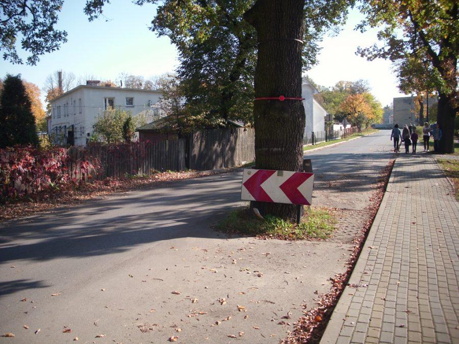 Dąb wyrastający wprost z drogi – roztoczański przykład szacunku do drzew