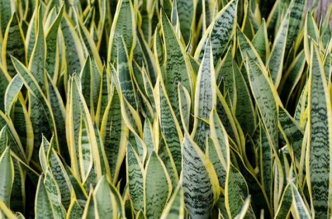 Ta roślina ma zbawienny wpływ na nasze zdrowie, powinna stać w każdej sypialni