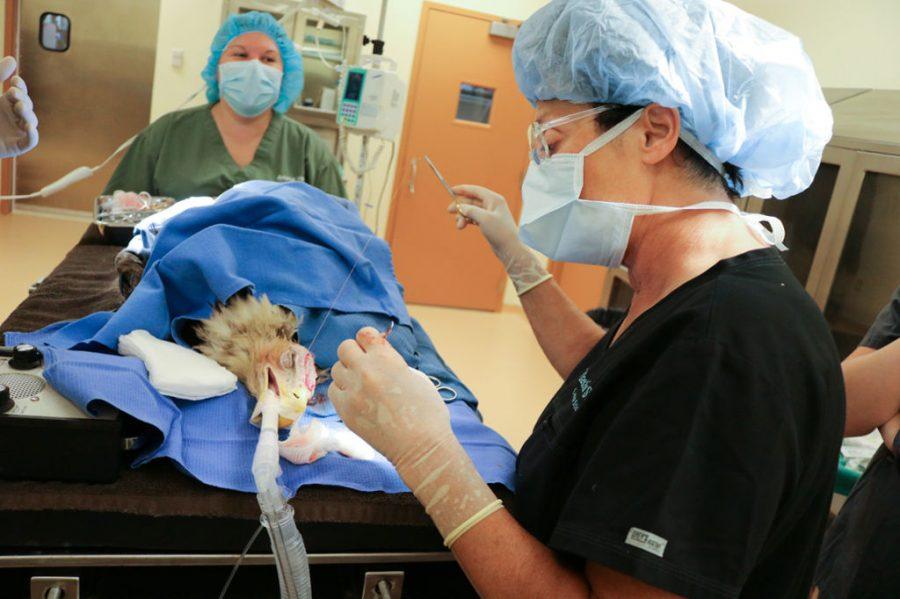 W USA dokonano pierwszego przeszczepu skóry u orła