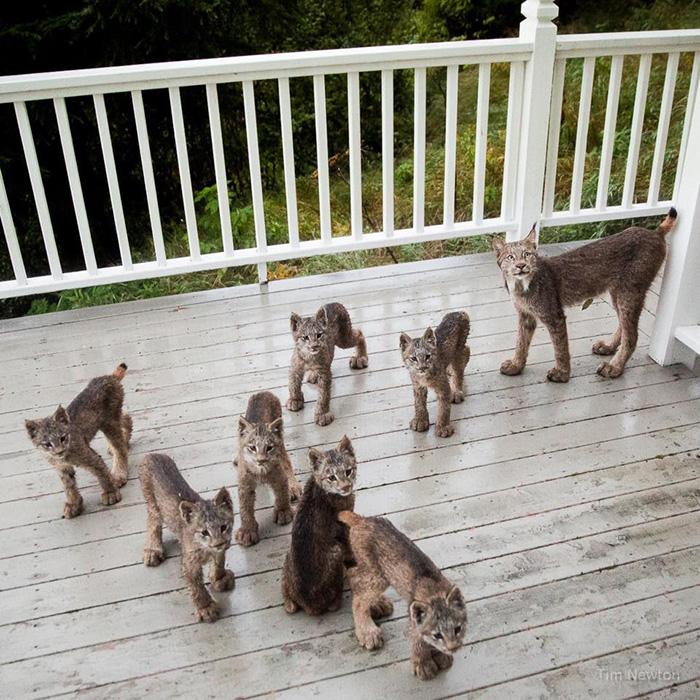 Rodzina rysiów odwiedziła dom mężczyzny na Alasce