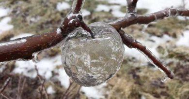 """Niezwykłe zjawisko – """"jabłka-duchy"""" w sadzie w amerykańskim Michigan"""
