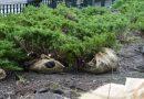 W Poznaniu przenoszą zieleń aby wyremontować rynek. Krzewy i drzewa trafią do parków