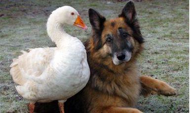 Gęś uratowała życie psu – dziś są nierozłączni!