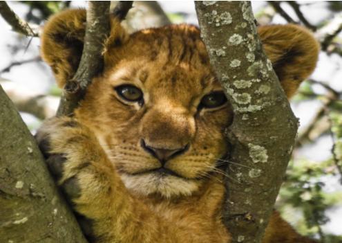 Zambia wprowadza zakaz polowania na lwy i lamparty