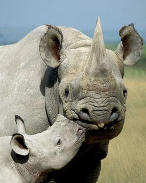Mikrochipy ochronią rogi nosorożców w Kenii