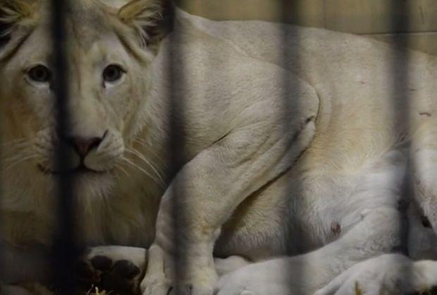 Cały świat mówi o wyjątkowych narodzinach w polskim ZOO. Pierwsze białe lwy, które przyszły na świat w Polsce