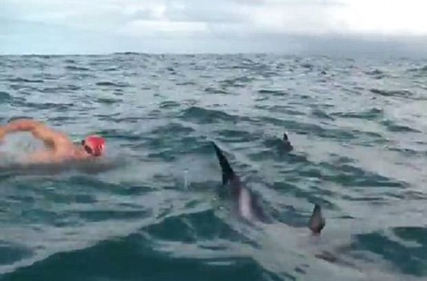 Pokonywał wpław Cieśninę Cooka, nagle podpłynął do niego rekin. Przegoniło go stado delfinów