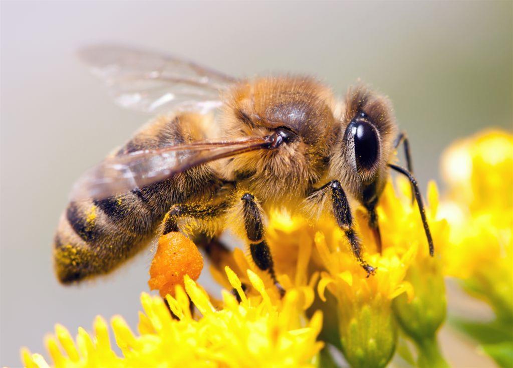 Chronimy pszczoły