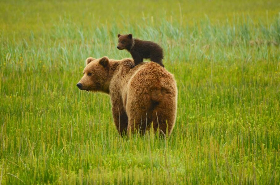 Coraz więcej niedźwiedzi na Podkarpaciu