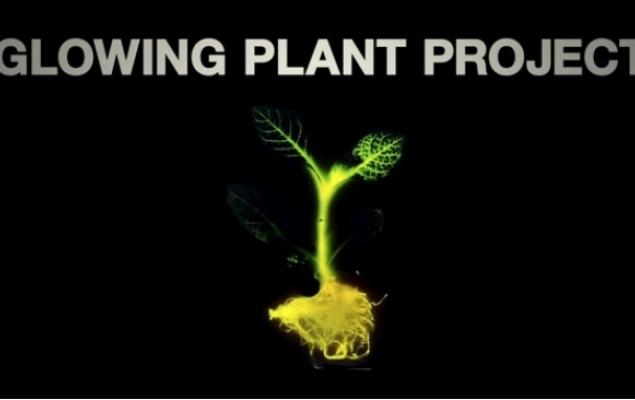 Fluoroscencyjne rośliny mogą zastąpić oświetlenie uliczne