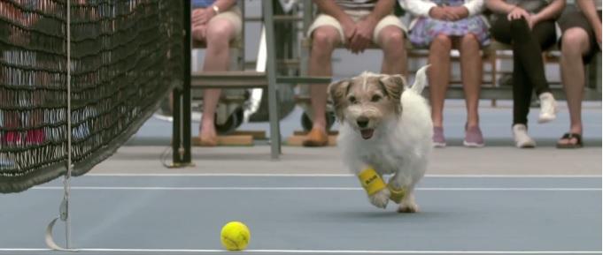 Zobacz, jak psy podają piłki na meczu tenisowym