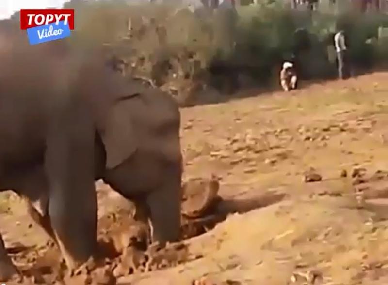 Słonica jedenaście godzin ratowała swój największy skarb