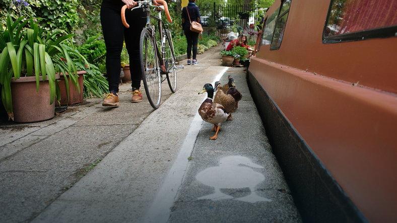 W Wielkiej Brytanii kaczki mają swoje chodniki