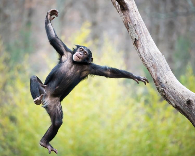 Szympansy lepsze od ludzi w testach pamięci